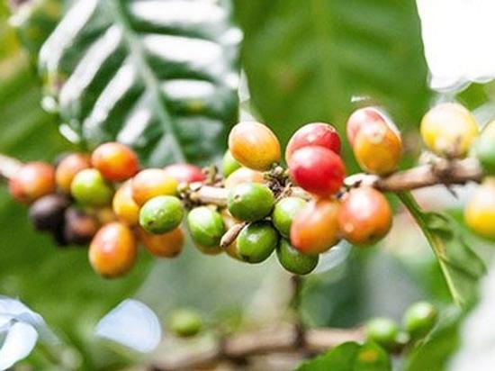 Fábrica de la producción del café de Nestlé, Veracruz, México